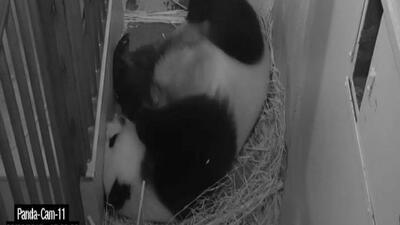 Nace panda gigante en Washington