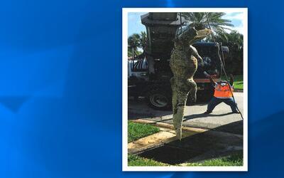 El caimán de 11 pies quedó atrapado en el sistema de alcantarillado de u...