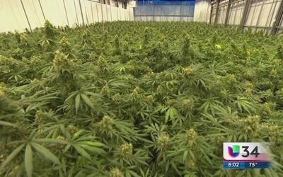 Duró golpe contra la marihuana medicinal en Georgia