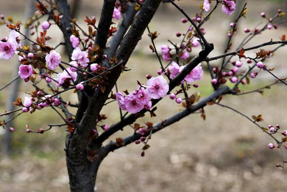 El mismo listón rojo se coloca en árboles frutales para ev...