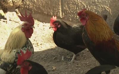 Miles de gallos de pelea fueron confiscados en uno de los operativos más...