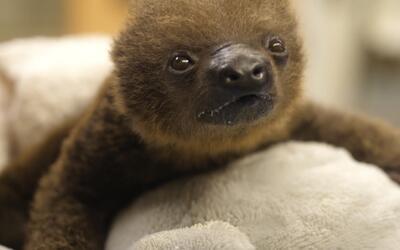El zoológico de Memphis recibe a esta encantadora osa perezosa