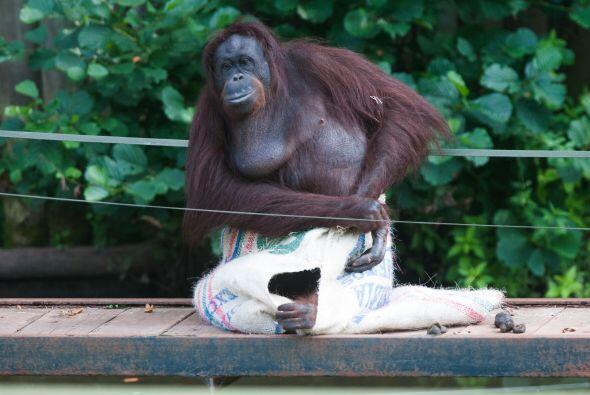 Esta orangután sorprendió a todos cuando utilizó un...