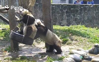 Mira los divertidos juegos de estos pandas