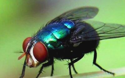 Peligrosa mosca que ya había sido erradicada hace mucho tiempo en Florid...