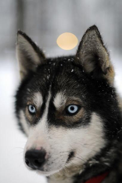 Husky siberiano: De apariencia imponente y elegante, el Husky es de tall...