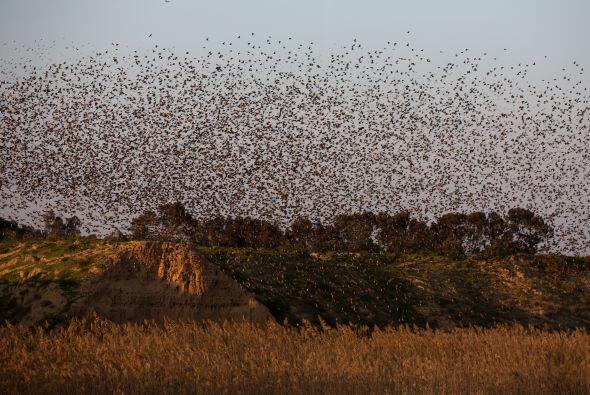 Antes de dormir, las aves crean espectaculares figuras en el cielo.