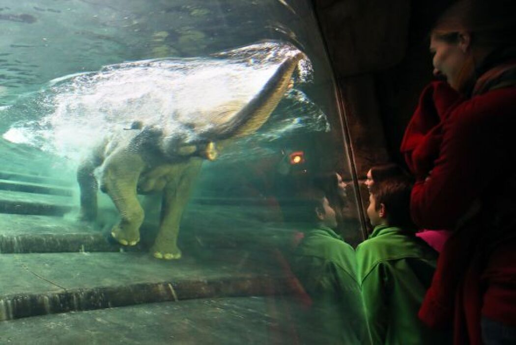 A la elefanta embarazada le dieron ganas de un chapuzón.