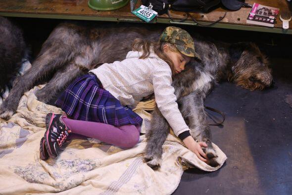 Wolfhound Irlandés: Este gran amigo, que en la antigüedad era usado como...