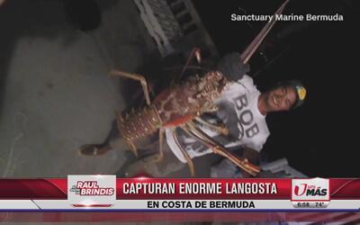 Capturan enorme langosta en costa de Bermuda