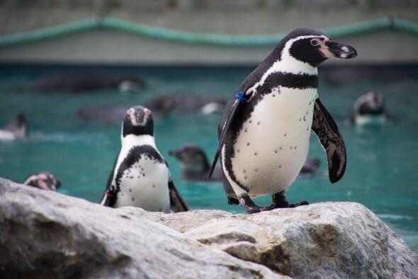 Los pingüinos son animales que se comprometen de por vida
