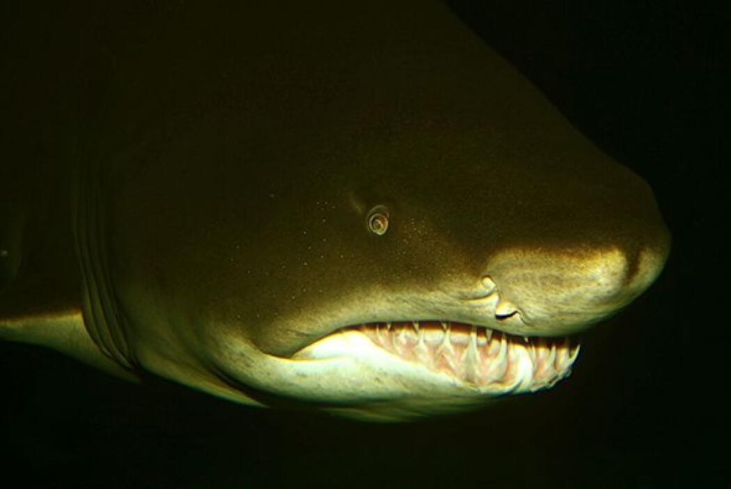 El tiburón es una de las criaturas acuáticas más antiguas del océano. Te...