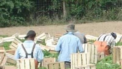Para algunos granjeros, mantener la fuerza laboral puede llegar a costar...