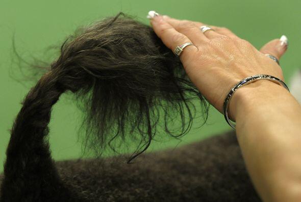 Los nudos en el pelo generan comezón y malestar en el perro, por eso es...