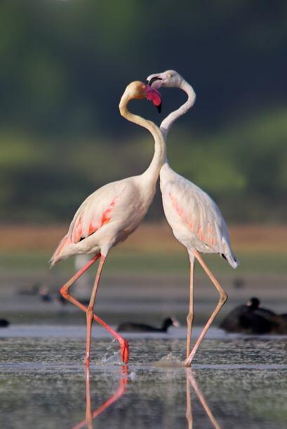 Estos adorables flamingos parece muy cariñosos, pero en realidad están d...