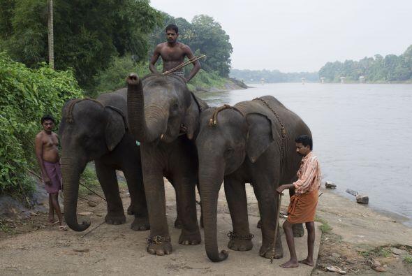 También deben asegurarse que los elefantes no se escapen cuando son llev...