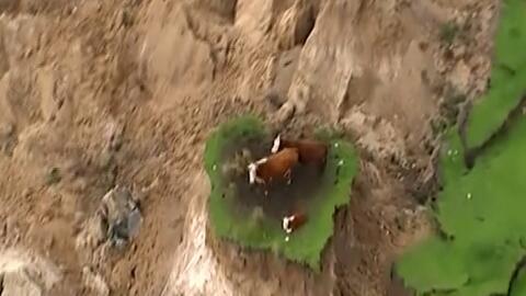 Rescatan a tres vacas que quedaron atrapadas por el terremoto de Nueva Z...