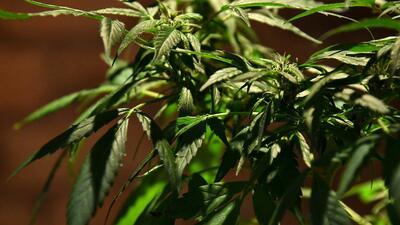 salud marihuana new york