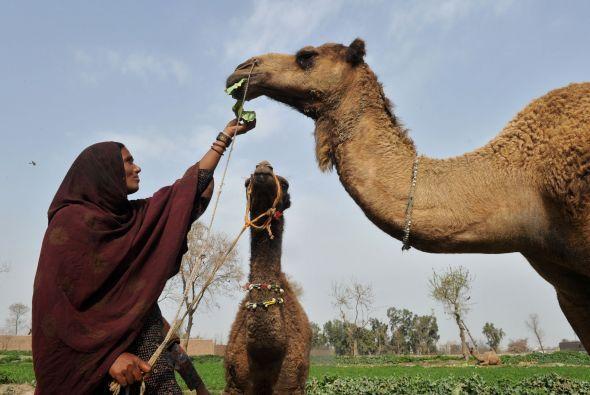 El canon de belleza del camello reside en un cuello esbelto, una abundan...