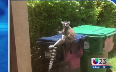 Mono lemur mordió a mujer en el suroeste de Miami