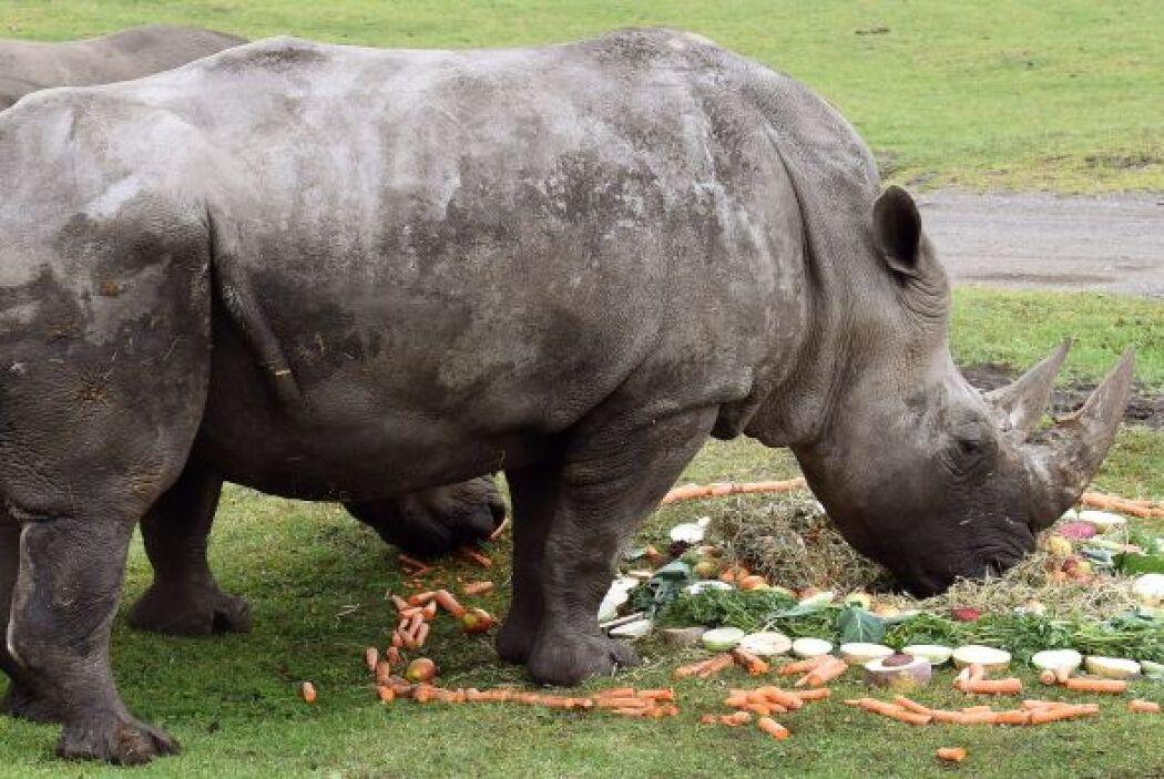 Una simpática pareja de rinocerontes se casaron en un zoológico de Alema...