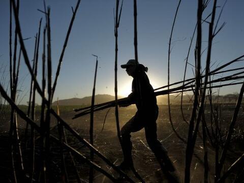 La caña de azúcar es uno de los cultivos con mayor antig&u...