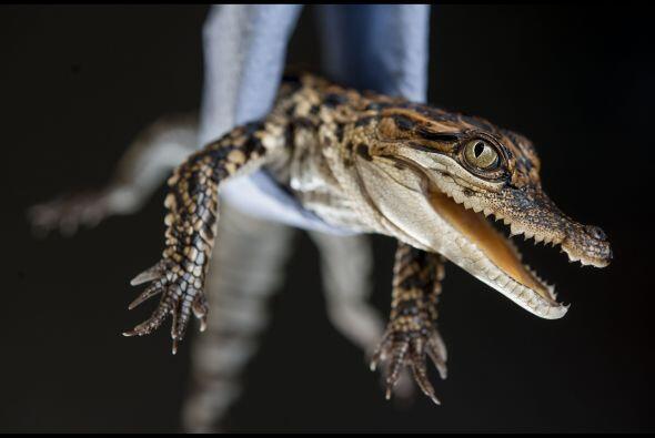 ¿Sonrisa? Tal parece que este cocodrilo bebé se encontraba muy contento.