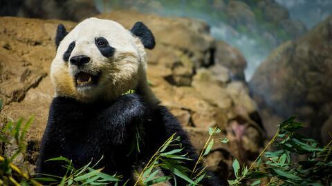 La panda Bao Bao se va de Washington a China