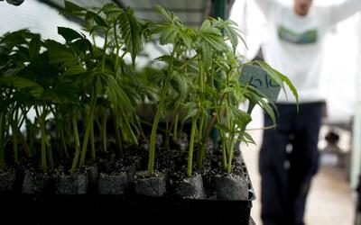 Legisladores estatales aprueban más operadores y dispensarios de marihua...