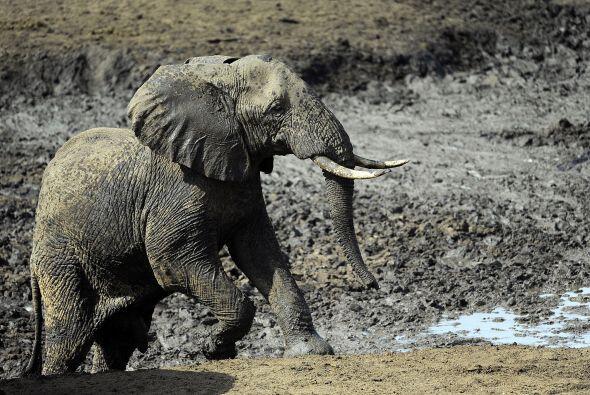 """""""El único futuro para los elefantes es que los gobiernos, la..."""