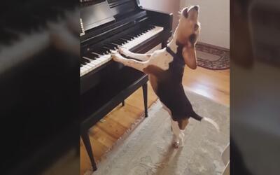 El videíto: El perro que canta y toca el piano
