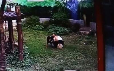 En video: la pelea entre un hombre y un panda