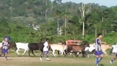 Vacas interrumpieron un encuentro fútbol en Perú.