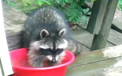 Tras encontrar un mapache enfermo de rabia, las autoridades sanitarias e...