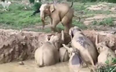 En video: Dramática salida de unos elefantes atrapados en el lodo