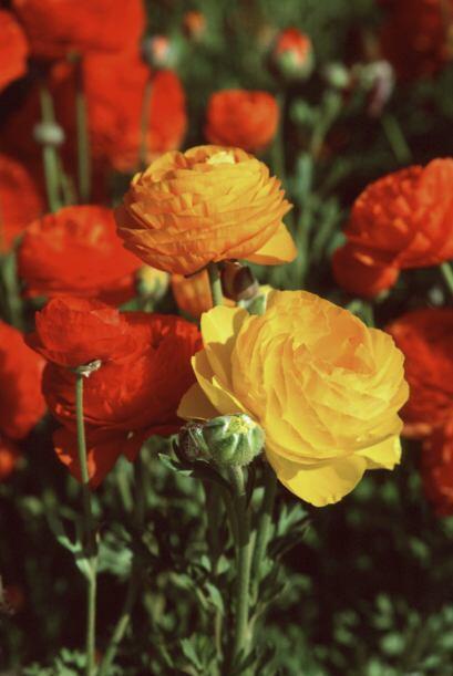 Estas enormes flores vienen en una fabulosa variedad de colores, capaces...