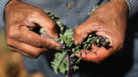 Trabajadores agrícolas mexicanos impulsan el desarrollo del campo en Canadá