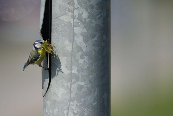 ¡El pájaro construye su espacio dentro de un poste de luz!
