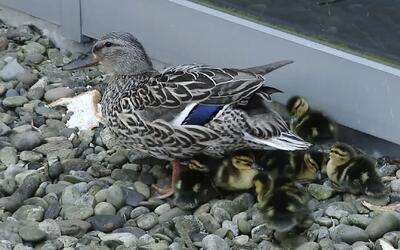 Mamá pato demuestra que el instinto maternal está presente en todas las...
