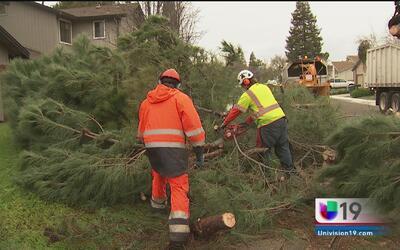 Árboles gigantes se derrumban en Natomas y Stockton