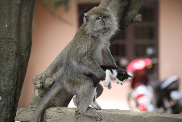 Como todos los monos, juega y come bananas; la única diferencia entre el...