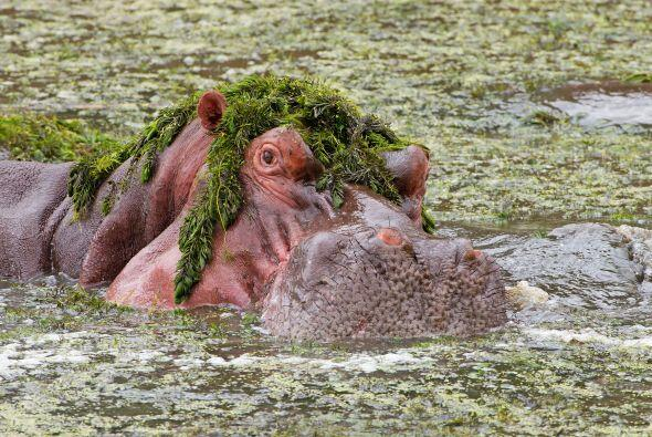Este divertido hipopótamo terminó con su comida comida com...