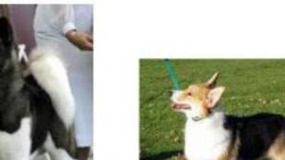 Los perros Akita son los más grandes y los Corgis son los más pequeños y...