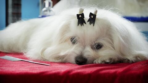 Aprende a peinar a tu perrito con estos prácticos consejos