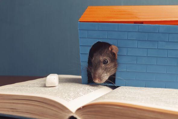 En un experimento con ratas de laboratorio, los científicos tambi...