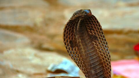La cobra del Cabo es ya parte de los residentes del L.A. Zoo.