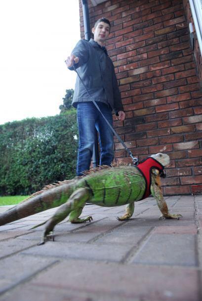 La joven novia detestaba tener cerca a los lagartos e iguanas de Shaun.