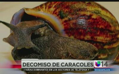 Decomisan 67 caracoles africanos en LAX