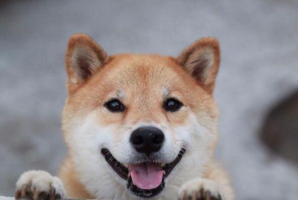Este Shiba-Inu tiene 7 años y vive en Japón, pero sus foto...