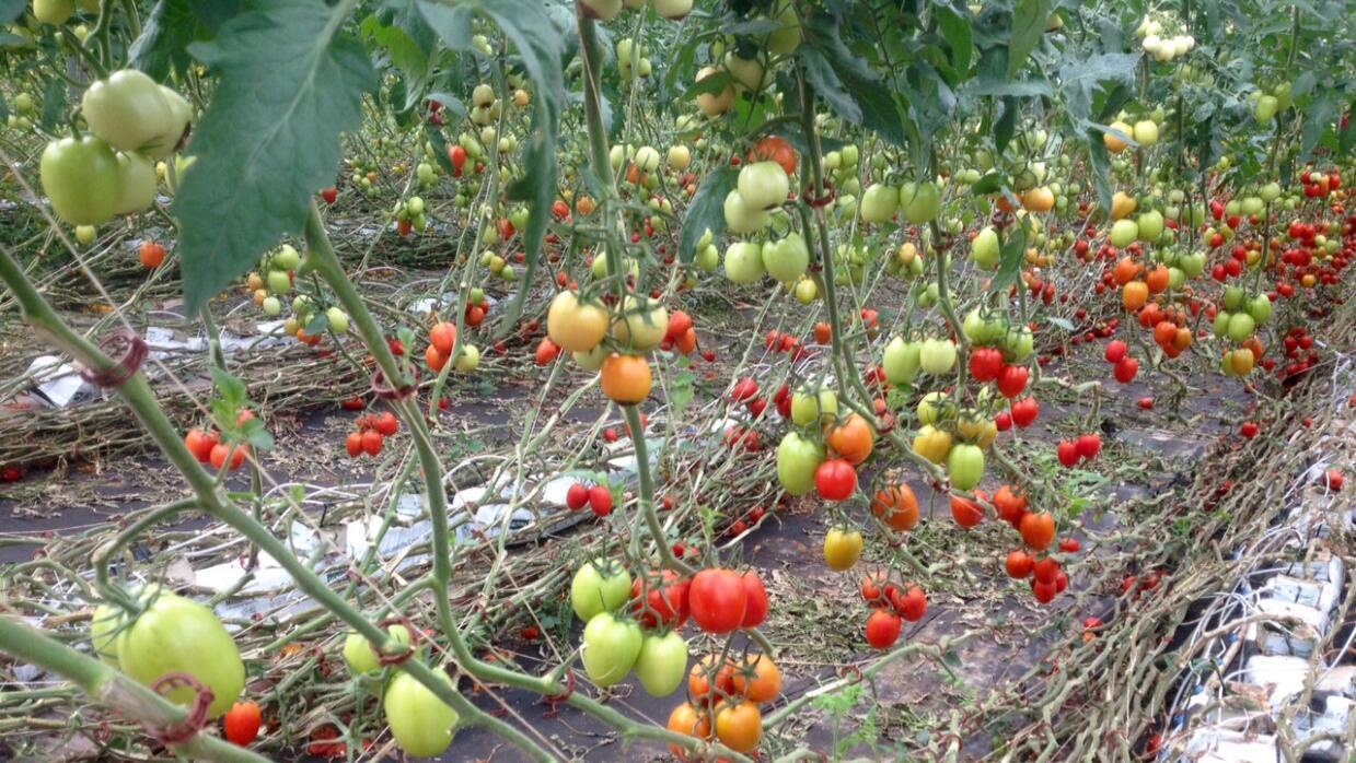 Cultivos de tomates